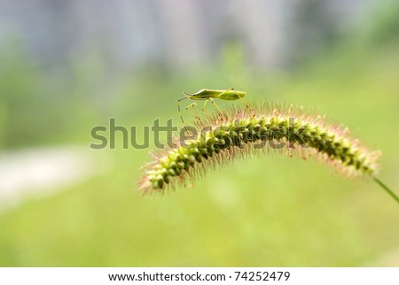 Insect on green bristle grass