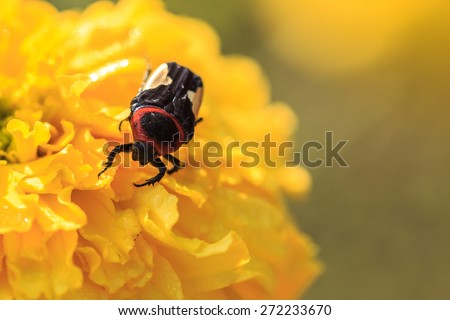 insect on Marigold flowe in the morning ,macro photography - stock photo