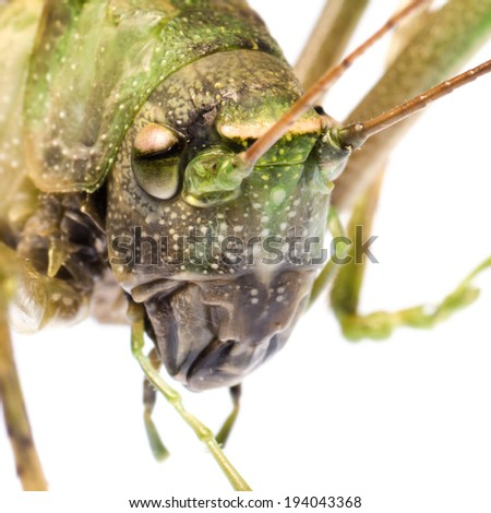insect specimen, katydid grasshopper, isolated on white. - stock photo