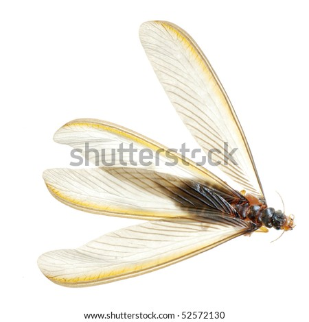insect termite white ant isolated - stock photo