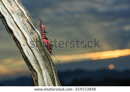 Insects ,Insects at dusk (Ceylon cotton, Chinese cotton) - stock photo