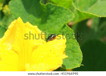 Insects on pumpkin flower