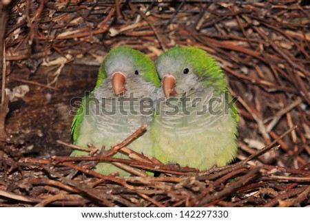 inseparable parrots birds of the savannah and arid steppes Kalagadi national park south africa - stock photo