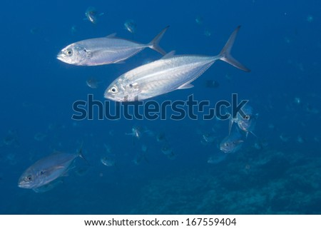 Inside a giant travelly tuna school of fish close up in the deep blue sea - stock photo