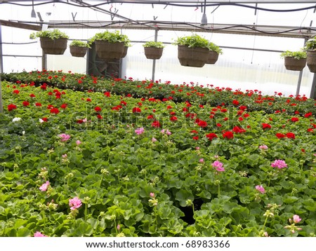 Inside a greenhouse full of geranium bedding plants.