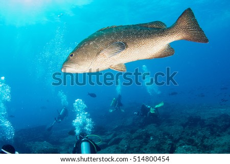 Inside a school of grouper fish close up in the deep blue sea in cabo pulmo mexico national park