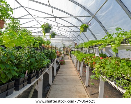 Inside commercial plastic covered horticulture greenhouse of garden center selling bedding plants. - stock photo