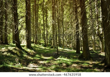 inside of pine forest with trees and grass, landscape,Rhodope mountains,Bulgaria