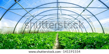 inside panoramic view of growing vegetables in a greenhouse - stock photo