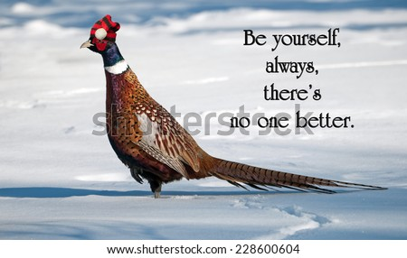 Inspirational quote on individuality by an unknown author, with a male ring necked pheasant proudly wearing his Christmas hat, strutting his stuff in the winter.  - stock photo