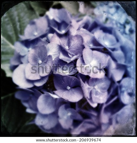 Instagram filtered style image of blue and purple hydrangea