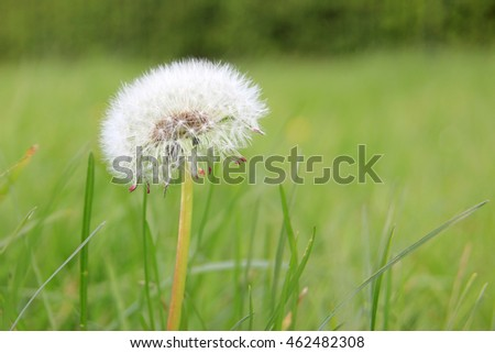 Intact dandelion puff before it's seeds have been blown to the wind
