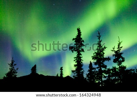 Intense bands of Northern lights or Aurora borealis or Polar lights dancing on night sky over boreal forest spruce trees of Yukon Territory, Canada - stock photo