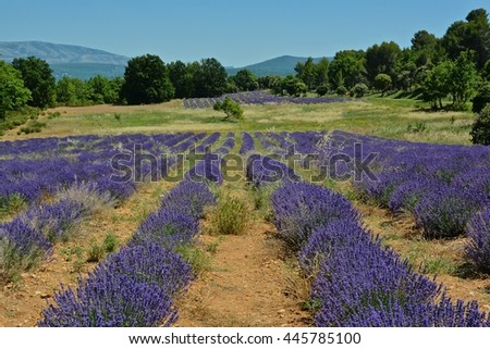 intense colors of purple lavender fields in the Provence region in France in the Alps of the French Riviera