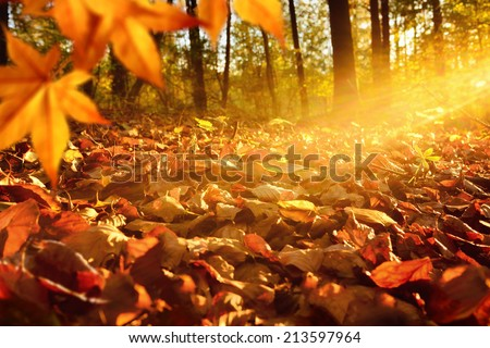 Intense, warm sunrays illuminate the dry, gold beech leaves covering the forest ground - stock photo