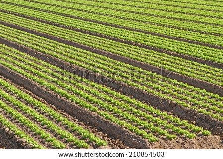 intensive cultivation of green salad in agricultural area 5