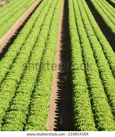 intensive cultivation of green salad in agricultural area 1