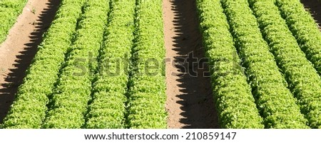 intensive cultivation of green salad in agricultural area 2