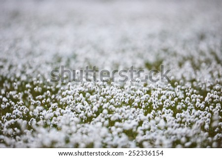 Intentionally blurred field of cotton  grass flowers in back light, artistic intent - stock photo