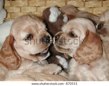 Interaction between two American Cocker Spaniel puppies - stock photo