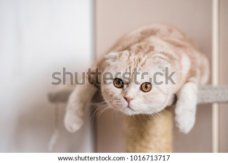 Interested  ginger scottish fold cat looking at camera
