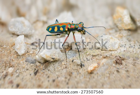 Interesting Extreme Closeup of a Brightly Colored, Iridescent Tiger Beetle in the Wild, standing on its long, spindly legs in the sun. - stock photo