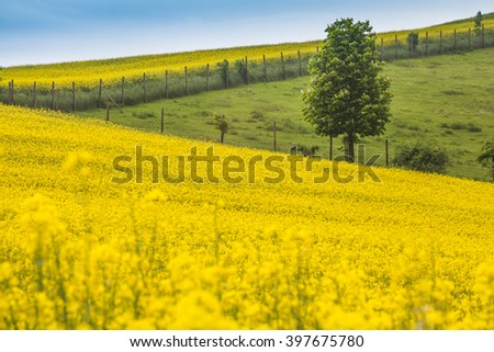 Interesting fields of rapeseed