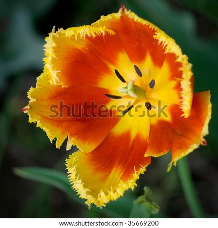 Interesting unique tulip with jaggy petals - stock photo