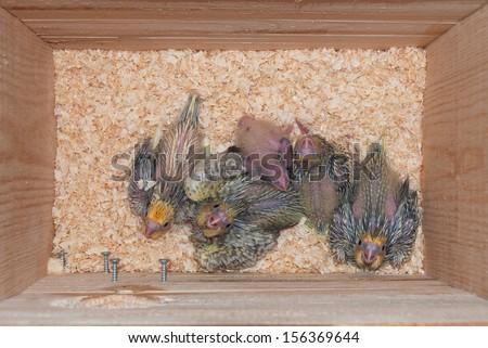 Interior of a cockatiel pet bird nest with cockatiel chicks - stock photo