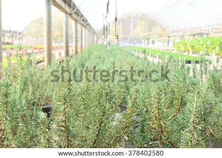 Interior of a commercial greenhouse for cultivating Rosemary with rows of green seedlings at garden nursery - stock photo
