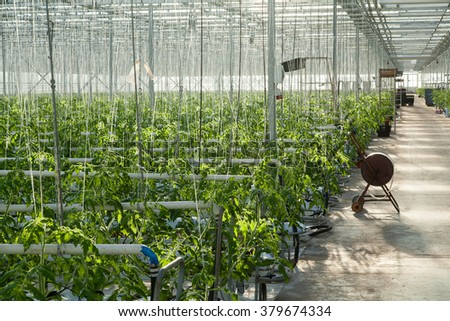 interior of giant greenhouse with tomatoes in sunny day - stock photo