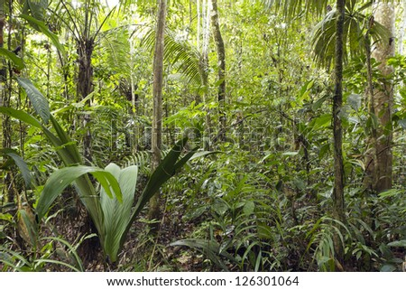 Interior of primary tropical rainforest with a Geonoma palm in foreground, Ecuador - stock photo