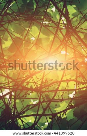 Interlacing branches vines in the sun - stock photo