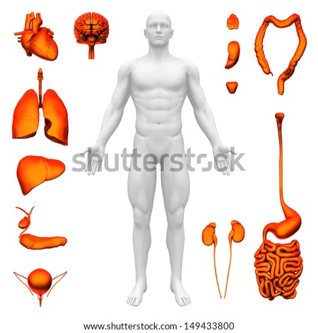 Internal organs - Human anatomy - stock photo