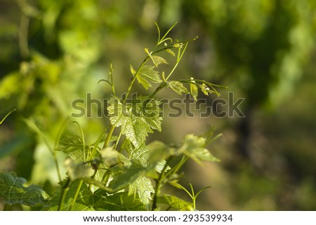 Into a field of vineyards, France - stock photo
