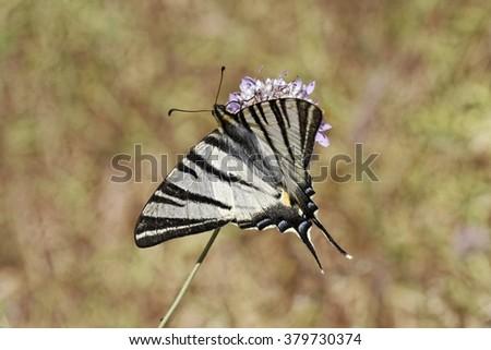 Iphiclides podalirius, Scarce swallowtail, Sail swallowtail, Pear-tree swallowtail from Southern France, Europe - stock photo