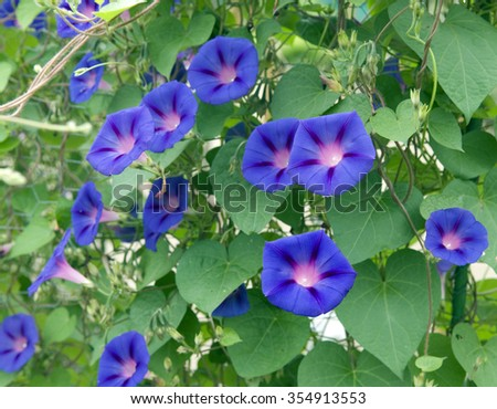 Morning glory stock images royalty free images vectors for Ipomea purpurea