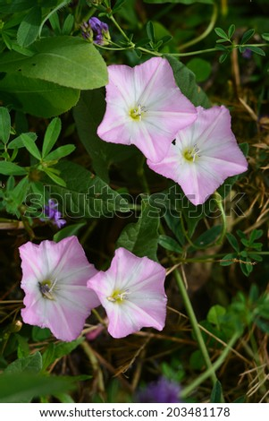 Ipomoea tricolor (Morning glory) - stock photo
