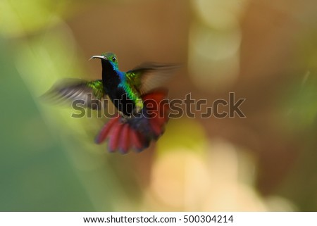 Iridescent blue-green, caribbean hummingbird, showing off outstretched tail in offensive posture, male of Black-throated Mango, Anthracothorax nigricollis, Tobago island. Trinidad & Tobago.