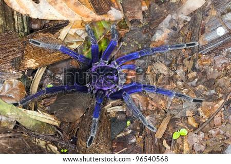 Iridescent blue tarantula in tropical rainforest on the Pacific coast of Ecuador - stock photo