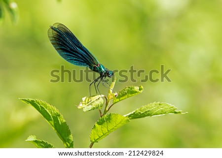Iridescent green Male Banded Demoiselle - stock photo