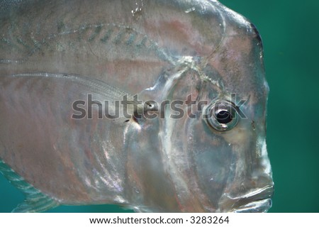 Iridescent silver lookdown fish swimming in water