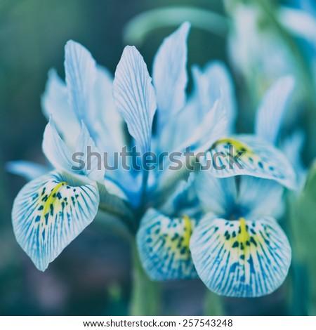 Iris - stock photo