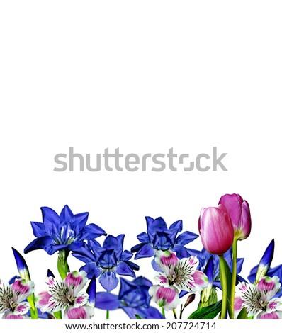 iris blue flowers on a white background - stock photo