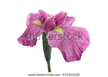 Iris ensata isolated on white background  - stock photo