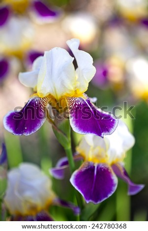 Iris flower - stock photo