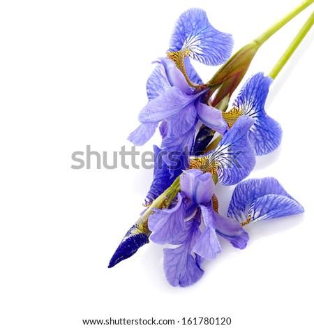 Iris flower. Blue iris. Petals of a  flower of an iris. Flower in dew drops. Flower petals in dew drops. - stock photo