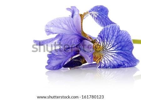 iris flower blue iris petals of a flower of an iris flower in