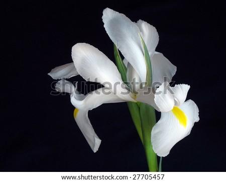 Ирис белый цветок