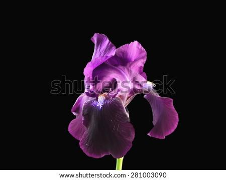 Iris flower dark purple - stock photo